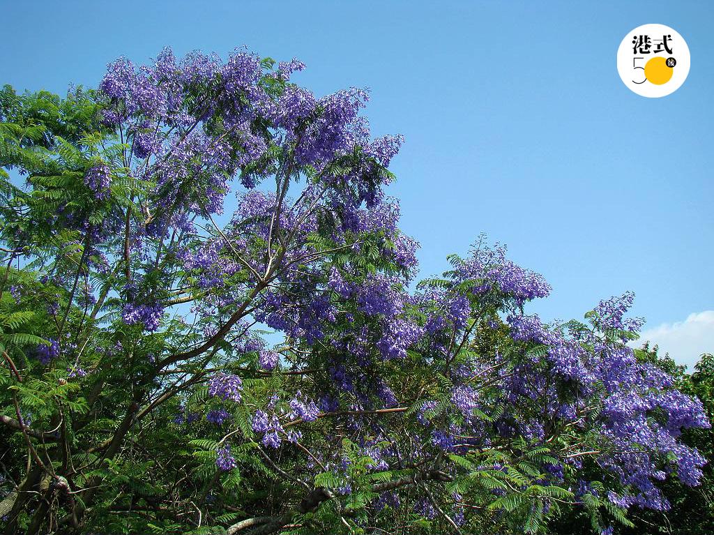 藍花楹-花期-賞花熱點
